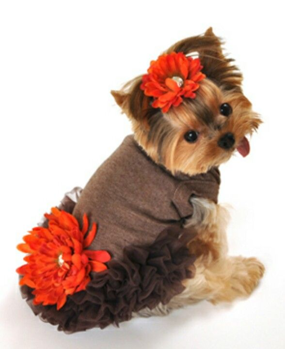 teacup yorkie clothes best 25 yorkie clothes ideas on pinterest youtube dogs 8694