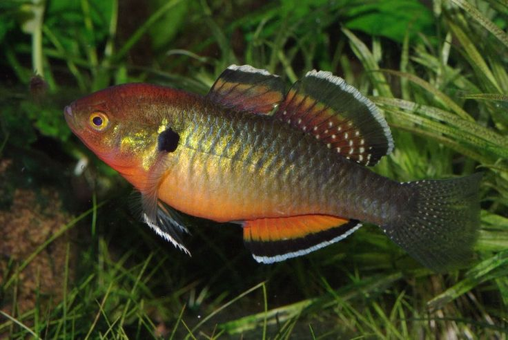 Empire gudgeon click to see more about this rare tropical for Rare freshwater aquarium fish