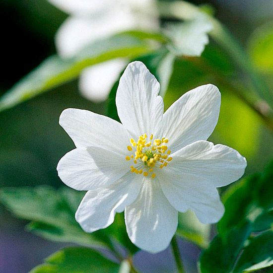 This easy-to-grow, easy-to-love plant thrives in moist soils rich in organic matter.