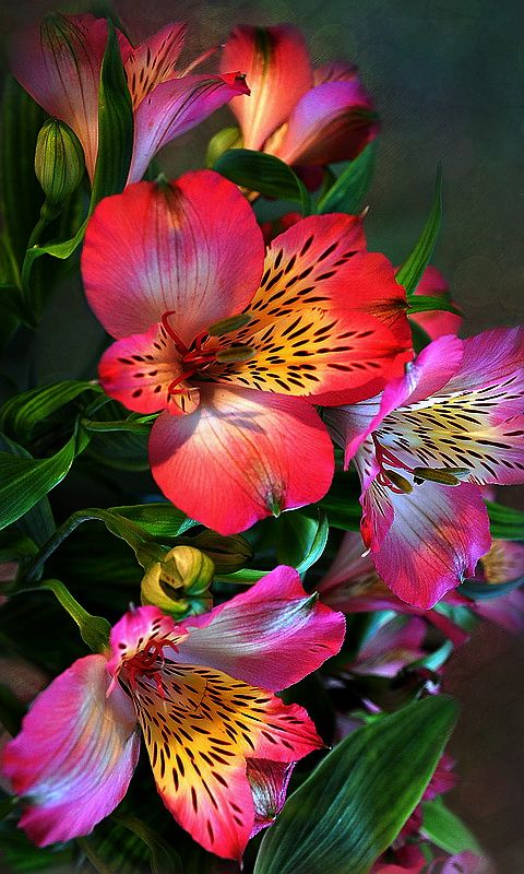 Alstroemeria commonly called the Peruvian lily or lily of the Incas. The flower has six sepals each up to 5 centimeters long. They come in many shades of red, orange, purple, green, and white, flecked and striped and streaked with darker colors.