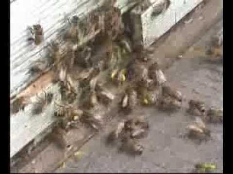 Обманем пчелиную воровку - YouTube