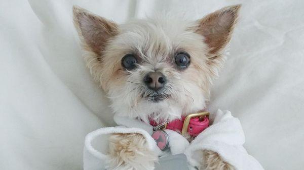 Zvierací svet má novú psiu hviezdu! Jej meno je Ella Bean (8) a život plný luxusu amódnych prehliadok môžu roztomilej sučke závidieť aj ľudské celebrity.