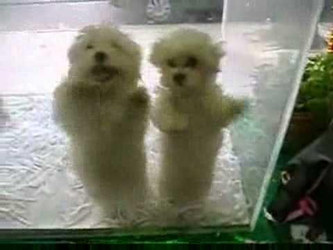 Happy Wednesday! Two Merengue dancing puppies!