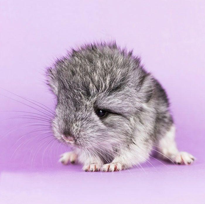 """Baby Chinchilla - As chinchilas são duas espécies de crepusculares roedores , um pouco maiores e mais robustos do que os esquilos à terra . Eles são nativos para os Andes montanhas na América do Sul [3] e vivem em colônias chamadas """" rebanhos """" em altas altitudes de até 4.270 m (14.000 pés). Historicamente, as chinchilas viviam em uma área que incluía partes da Bolívia, Peru, Argentina e Chile, mas hoje as colônias na natureza só são conhecidas no Chile."""