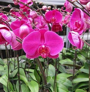 Deluxe Dark Purple Butterfly Orchid  #OrchidFlower