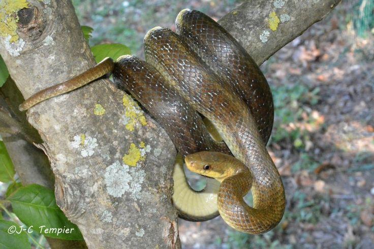 couleuvre d'Esculape, Zamenis longissimus