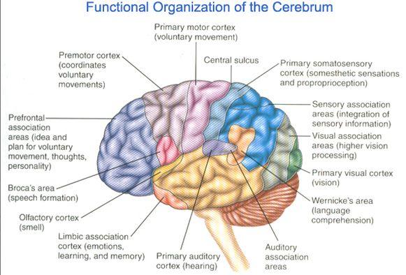 functional organization of the cerebrum
