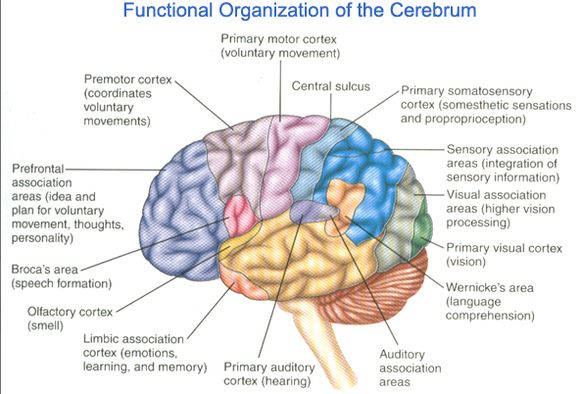 functional organization of the cerebrum
