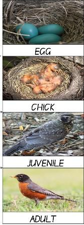 Free life cycle minibook for a North American Robin Homeschool Unit Study