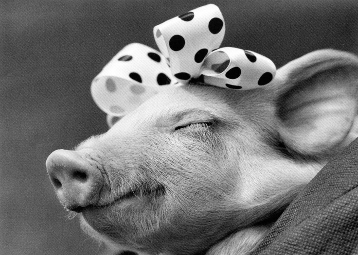 Happy as a pig in......a bow