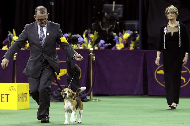 A Beagle Named Miss P Won Best In Show At Westminster - and she is adorable!