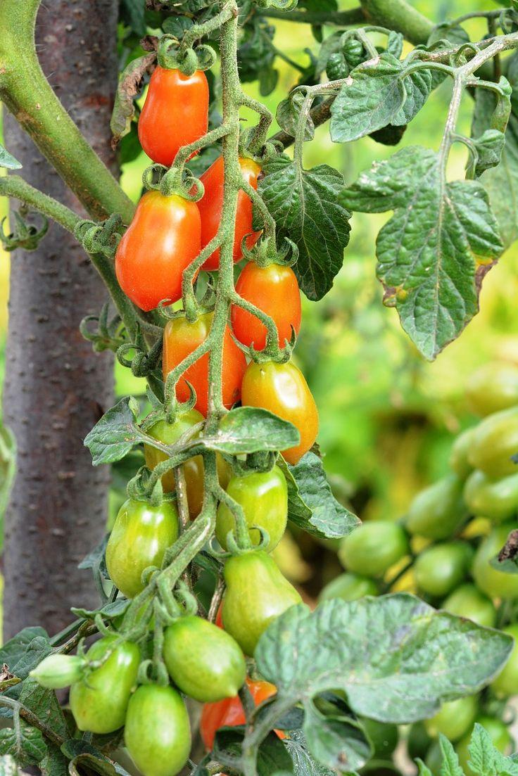 Mejores 61 Im Genes De Flores Y Plantas Huerto Y Jard N En  ~ Como Cultivar Tomates En El Huerto