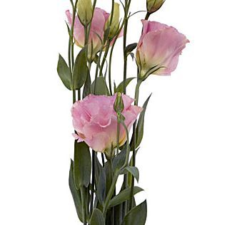 Pink Lisianthus Flower | Order Wholesale Bulk Lisianthus Pink Flowers 6 bunches (7-10 stems each) $87.99