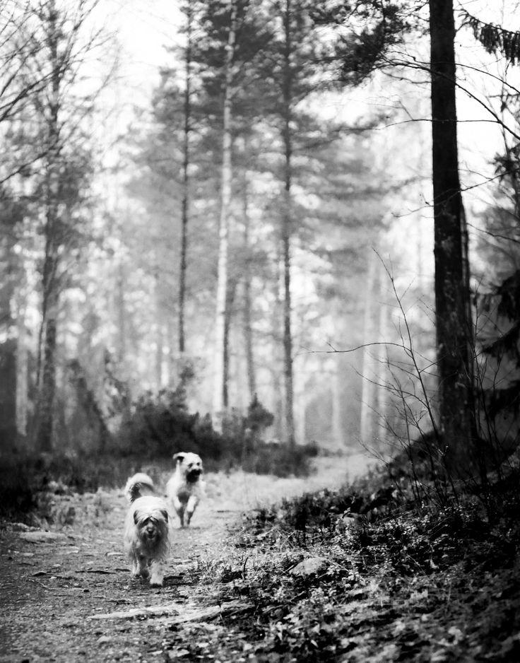 Spring i skogen. Berger des Pyrenées. Photography: Amanda Jenderbäck