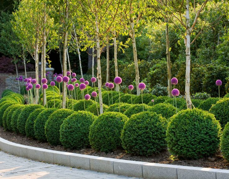 Similar arrangement to be in the stable courtyard. Architectural planting scheme of Beautiful box topiary and giant alliums under Birch trees, photographed by Clive Nichols, link on facebook.