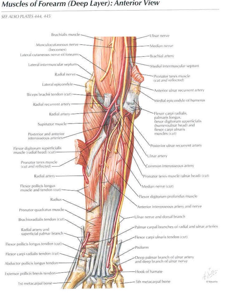 Muscles Of The Forearm  Anterior View