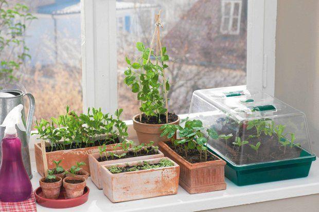 Na przedwiośniu możemy wysiać w domu kwiaty (oraz niektóre warzywa), które mają długi okres wegetacji. Rozsadę przesadzimy w maju, gdy będzie ciepło.
