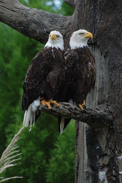 : Bald Eagles