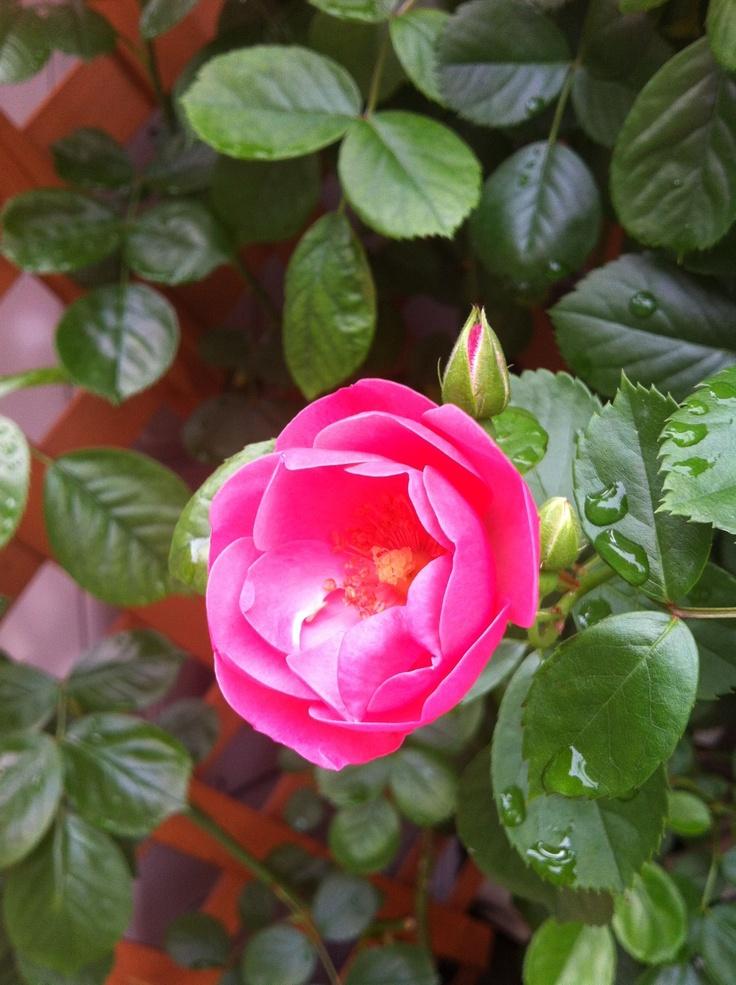 #rose Angela