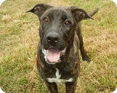 Anniston, AL - Mastiff Mix. Meet Nettie, a dog for adoption. http://www.adoptapet.com/pet/12617518-anniston-alabama-mastiff-mix