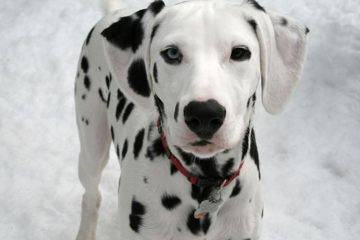 Dalmatian | nobody knows exactly where the dalmatian came from but the