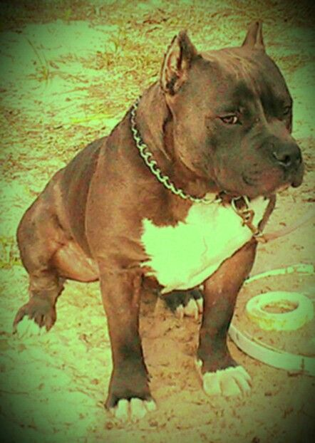 American Bully!! 100% Razors Edge