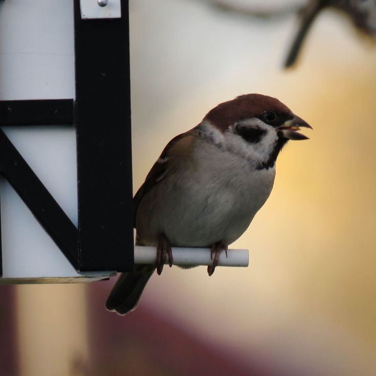 The little tree sparrow is a common visitor to both our gardens and balconies.  These little birds become more dependent on food from our bird tables in order to survive during the colder part of the year. This little guy is enjoying the sunset on the half timber Multiholk -  Don't forget to fill up your bird feeder!   #birdfeeder Photo: Johan Ander