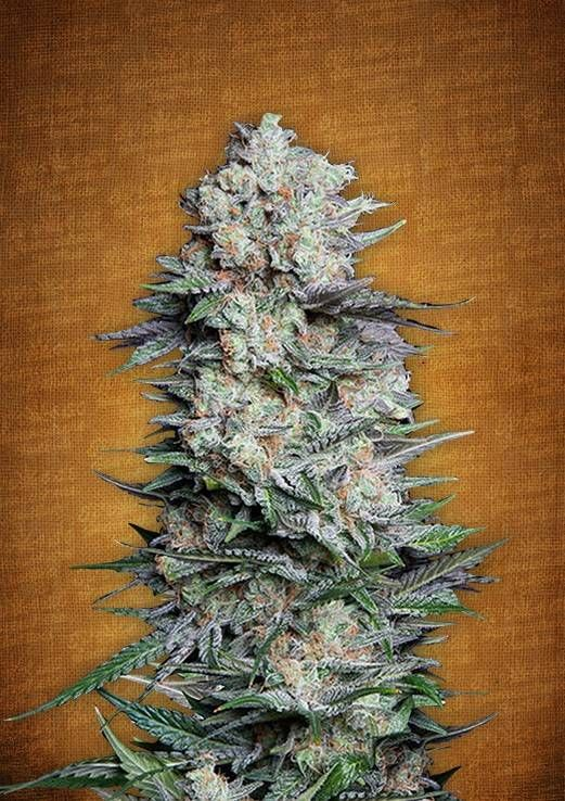 Mexican Airlines Autoflowering Feminised Seeds by the cannabis seeds breeder FastBuds Seeds, is a Autoflowering Feminised marijuana strain. This Mostly Sativa strain produces a Medium Indoors 450-500 g/m2 & Outdoors 50-250 g/plant yield. This Feminised seed grows well in Indoors, Outdoors conditions. Additionally it can be expected to grow into a Short, Medium plant reaching 60-120 cm. This strain has (Columbian x Mexican) autoflowering Genetics.