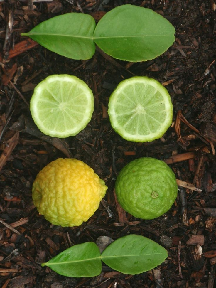 Kaffir lime-the perfect citrus scent.