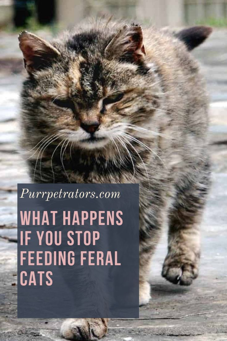 What Happens If You Stop Feeding Feral Cats Feral Cats Cats Outside Cats