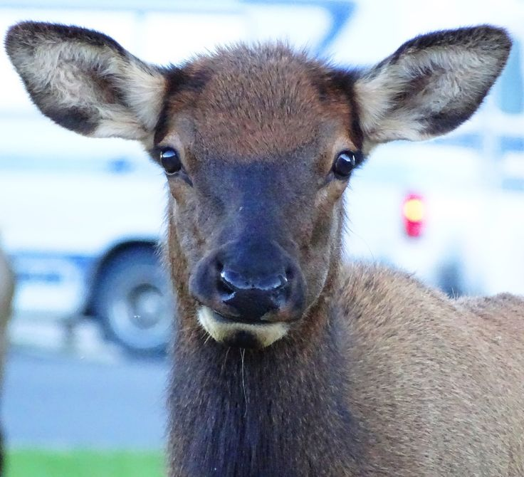 Elk Calf Yellowstone~ See: http://cindyknoke.com/2015/09/28/the-elk-are-bugling/