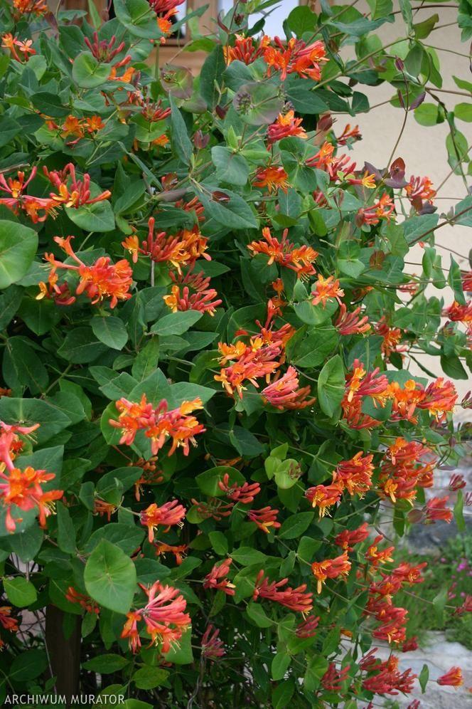 Jak Zbudowac Pergole Plants Landscape Trellis