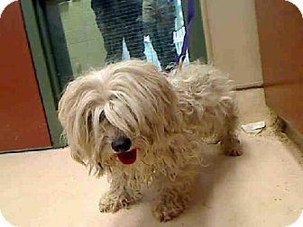 Rancho Cucamonga, CA - Maltese/Shih Tzu Mix. Meet MOOGIE a Dog for Adoption.