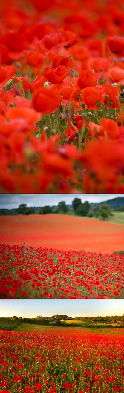 Every June, the beautiful British countryside in the West Midlands transforms into a picturesque red poppies phenomenon...