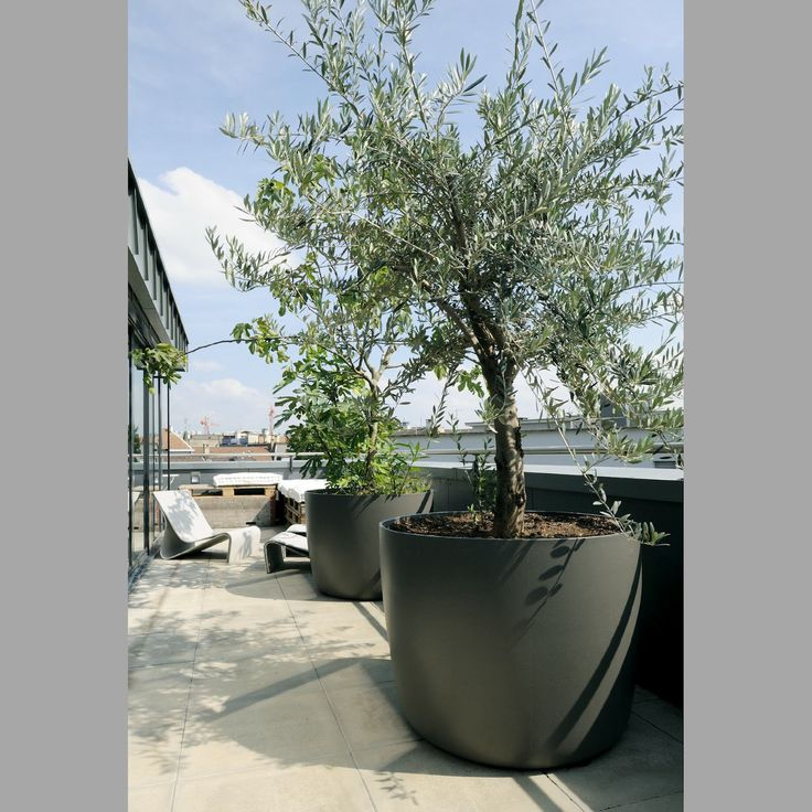 Olive tree in large grey pot