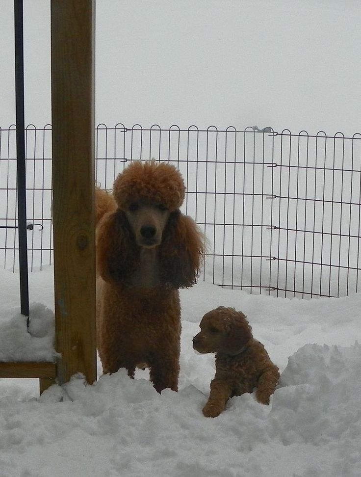 38 days old and loving the snow! My favourite album so far. - Poodle Forum - Standard Poodle, Toy Poodle, Miniature Poodle Forum ALL Poodle owners too!