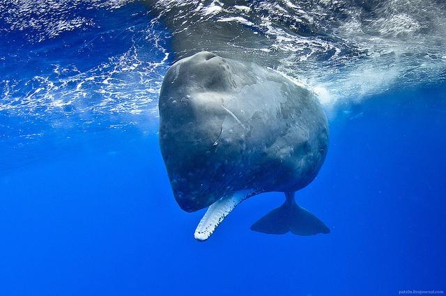 Sperm Whale - Ogasawara archipelago, Japan: Sperm Whales, Sea Life,  Man-Eat Sharks, Ogasawara Archipelago, Whales Encount,  Man-Eater, Photo,  Carcharodon Carcharia, Tours Ogasawara