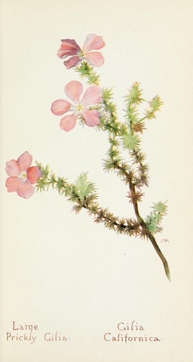Margaret Armstrong - Large Prickly Gilia (Gilia Californica)