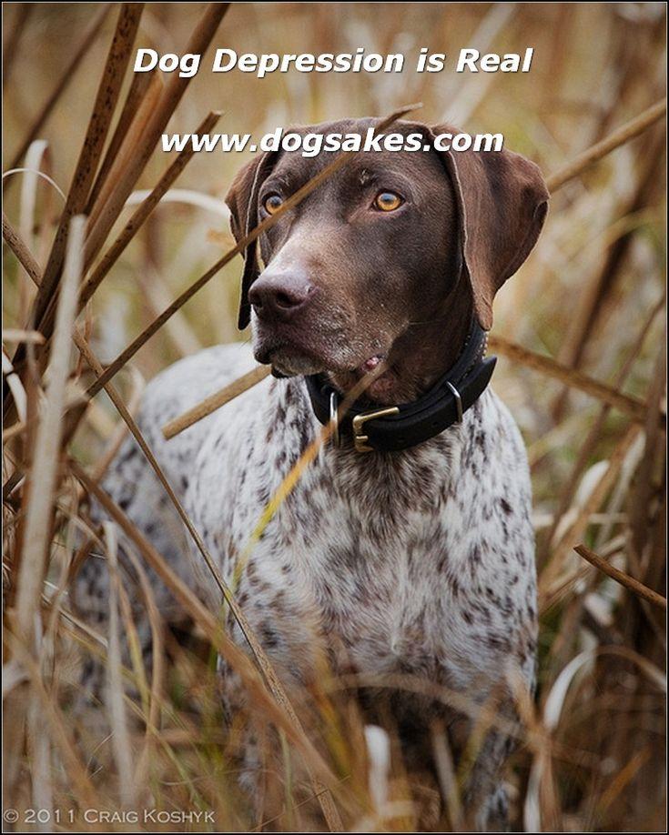 german shorthaired pointer puppies missouri - 564×705