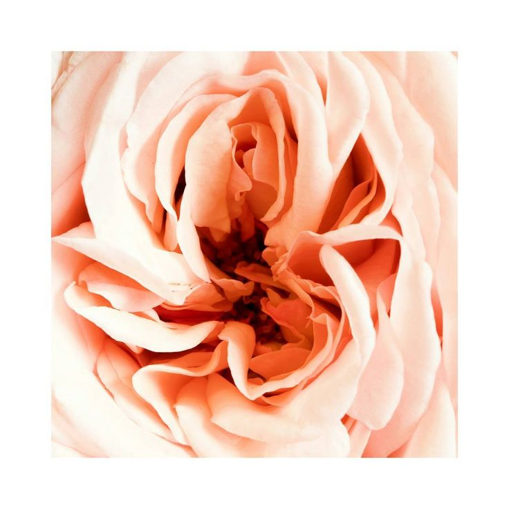 Extreme close up of a David Austin rose from a #winter #bouquet. I love that it feels a bit Georgia O'Keeffe-y - she's my ultimate ❤❤ #flowers  #roses #florography #sydney #wedding