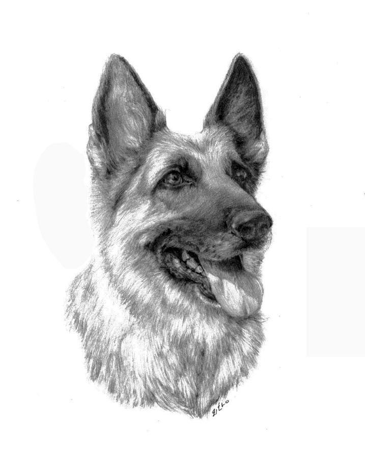 Рисунок овчарки карандашом картинки