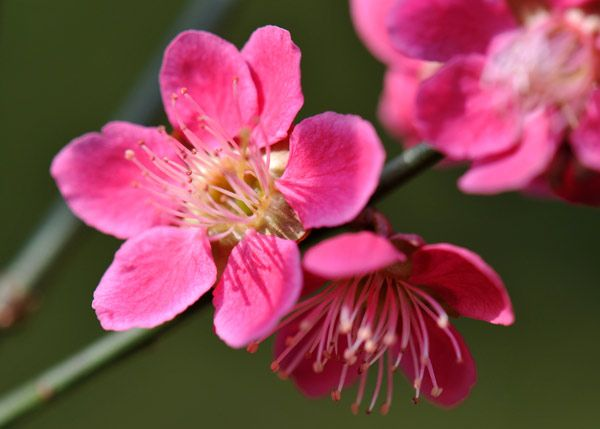 March - Ideal for smaller gardens (or patio planters), this early flowering Japanese apricot (Prunus mume 'Beni-chidori') will fill your garden with lovely almond scent...