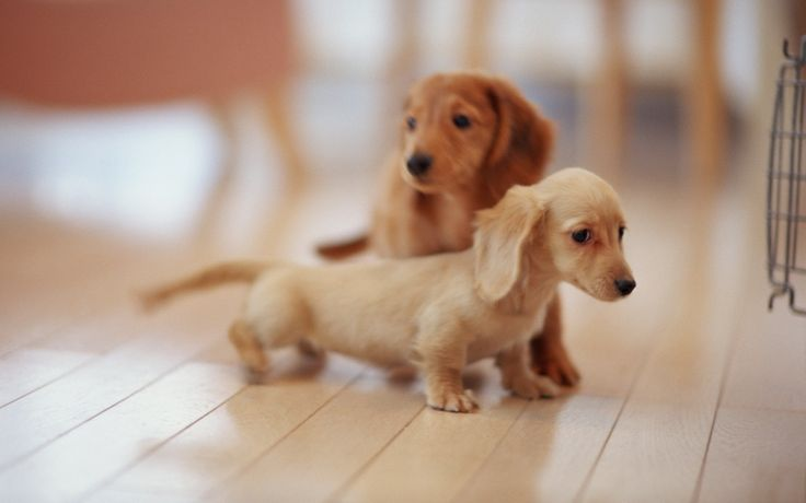 Just a baby daschund puppy with his big brother behind him... - Cute!!!!!!
