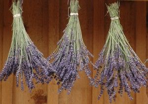 You can dry lavender easily by tying the cut stems in clumps to hang upside-down away from direct sunlight.