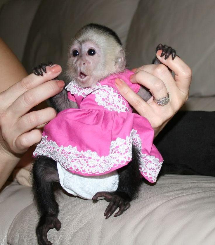 baby minkeys in dresses | scimmie cappuccino bambino > Animali Napoli > scimmie+cappuccino ...