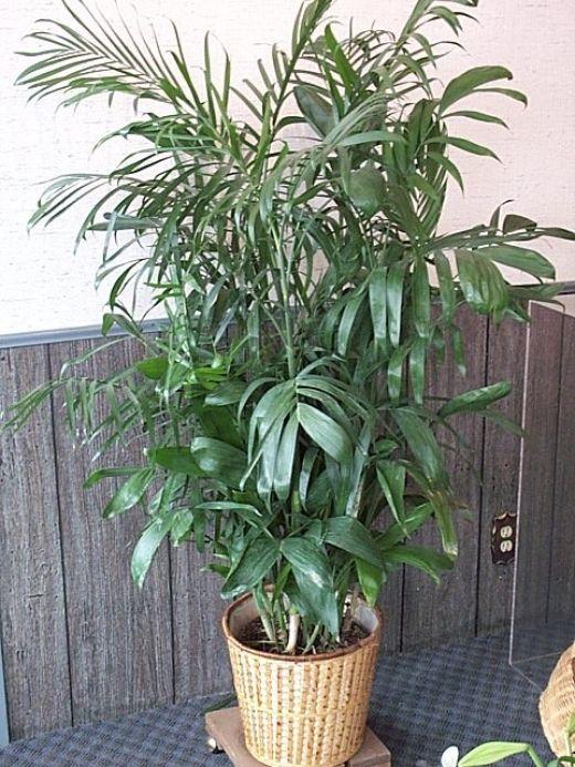 Die besten 25+ Bambus Palm Ideen auf Pinterest Bester befeuchter - bambus im wohnzimmer