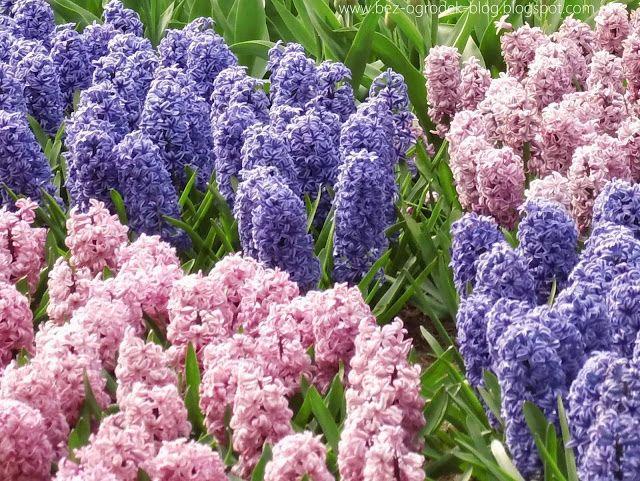 Rose Quartz & Serenity - My flower inspirations. Hiacinth