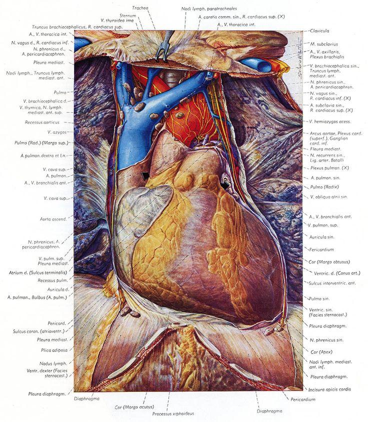 10 best Topographische Anatomie Des Menschen — «Топографическая ...