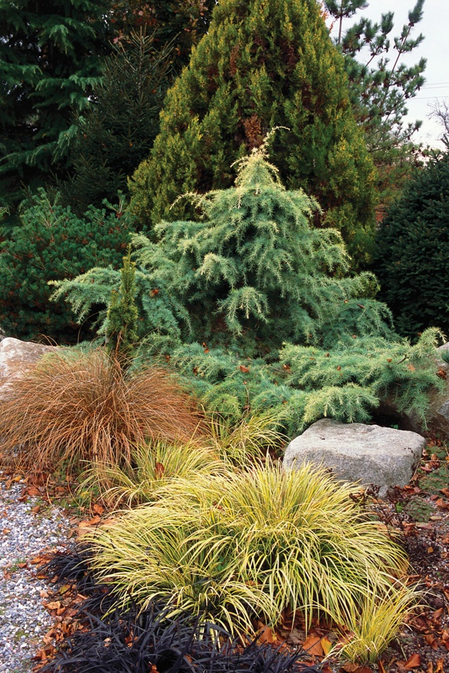 twisted conifer plant