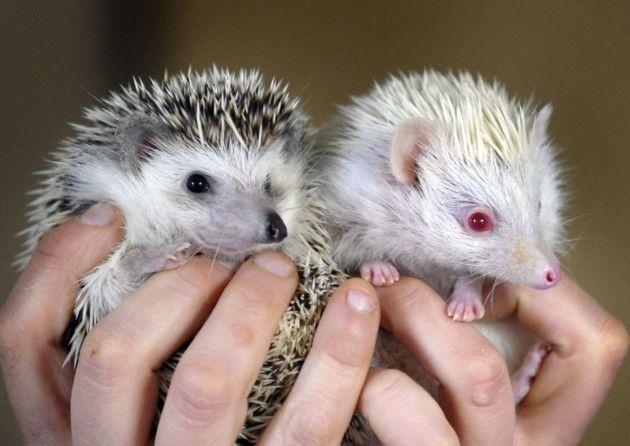 albino hedgehogs pets
